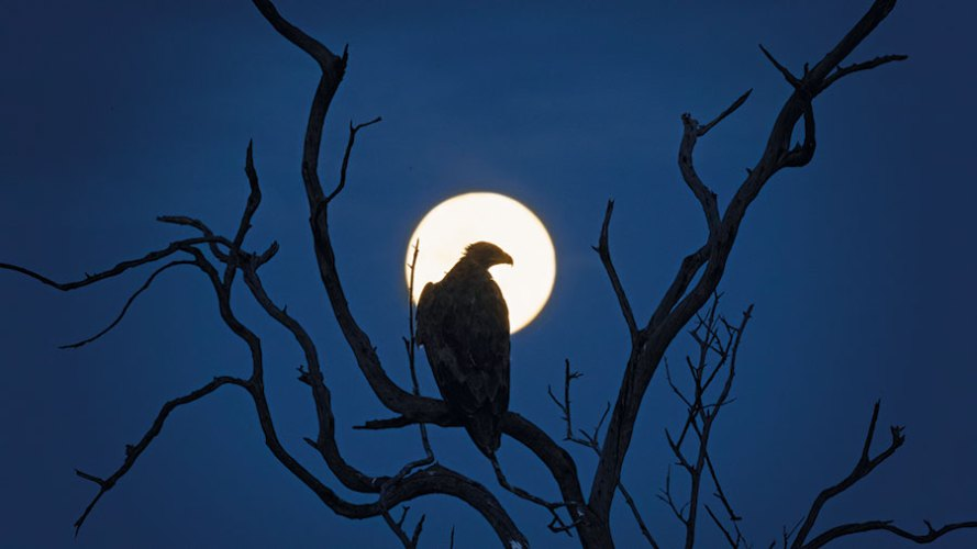 A raptor silhouetted by a full moon