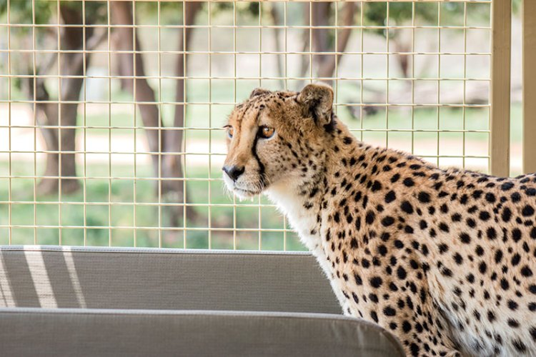 Cheetanah, the friendly cheetah