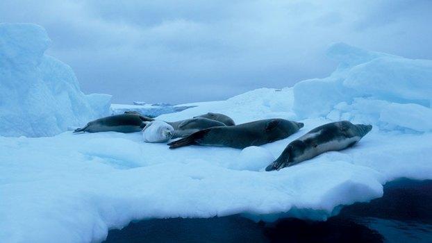 Cool comfort: seals, resting