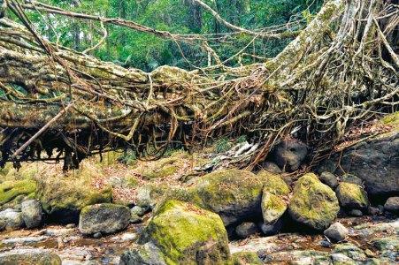 Living root bridge, Meghalaya