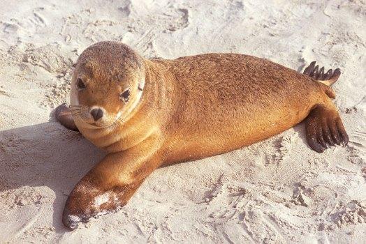 An alert sea lion.