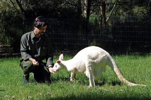 A hungry albino kangaroo.