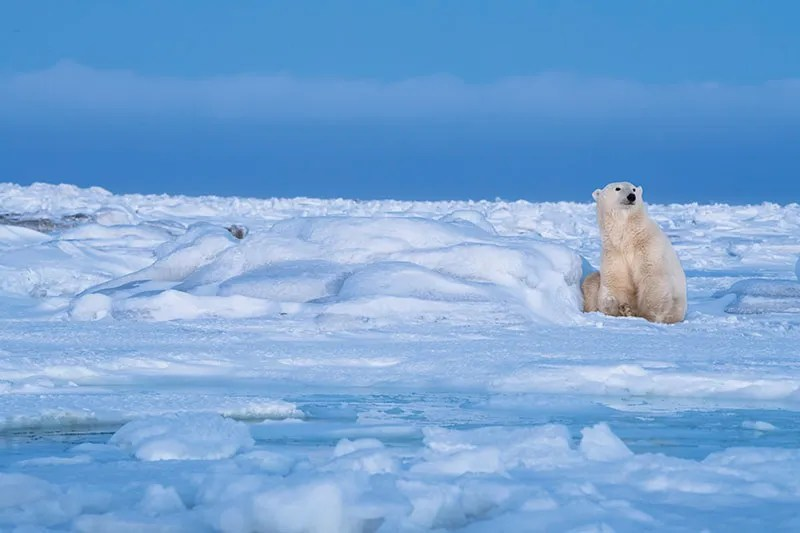 A polar bear gazing into the distance, Canada
