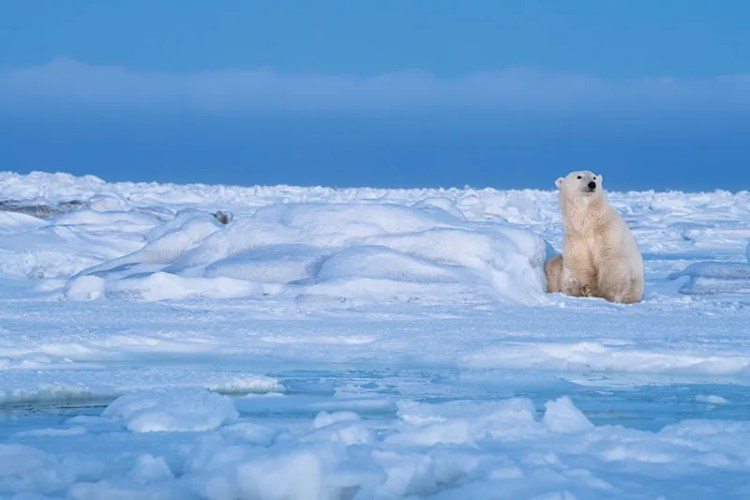 A polar bear gazing into the distance