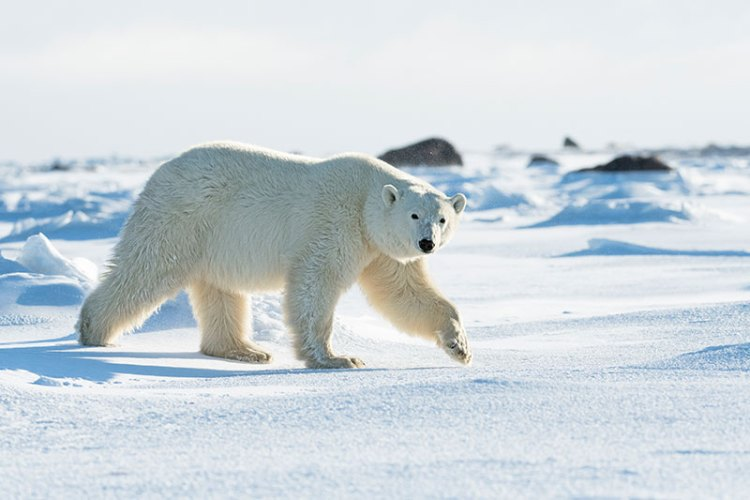 A polar bear loping by