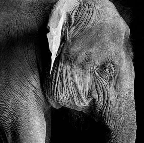 Young elephant, 1993, Silver gelatin print