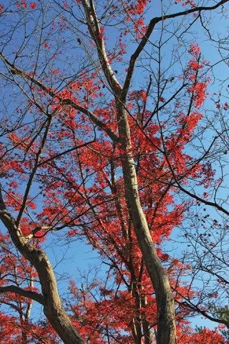 A red maple tree in the Kinkaku-ji temple complex