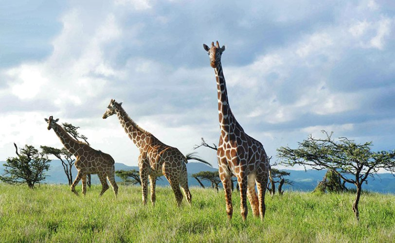 Giraffes stalk The Lew Wildlife Conservancy