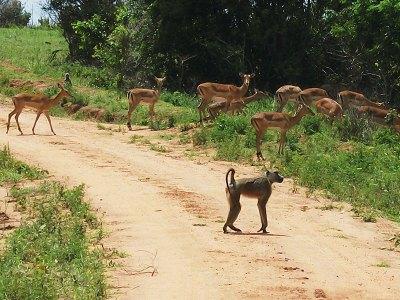 Rare sable antelopes