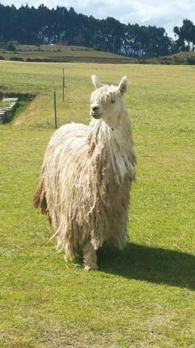 A sashaying gorgeous adult alpaca