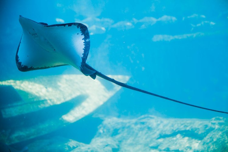 Manta rays or Stingrays can be seen at uShaka