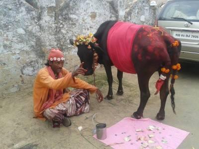Five-legged cow
