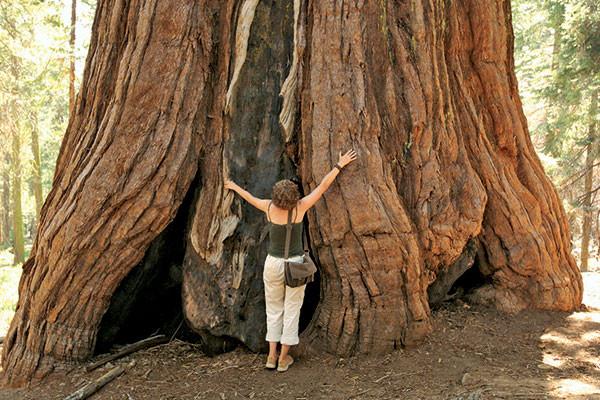 Yosemite National Park: the Mariposa Grove, California