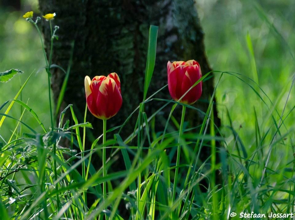 Twee tulpen in het bos.
