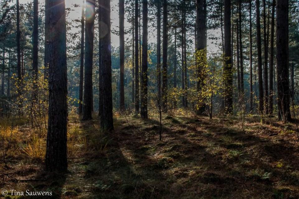 Zonlicht op de bosbodem in het Pijnven.