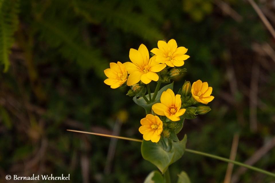 Plant op Cap d'Erquy