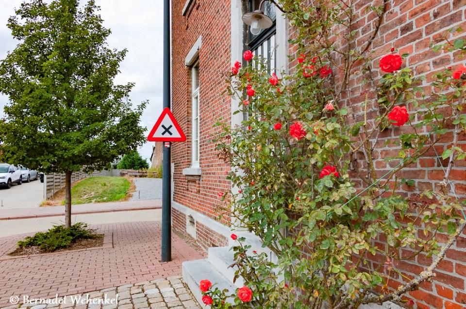 Klimroos tegen gevel in Mielen-boven-Aalst. Erachter een mooi geverfde deur.