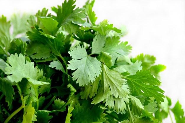 cilantro-hojas