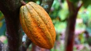 chocolate-cacao-planta