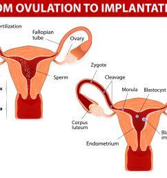 left ovary diagram [ 3625 x 3625 Pixel ]