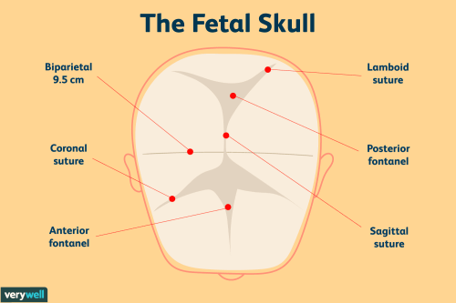 small resolution of parts of the fetal skull