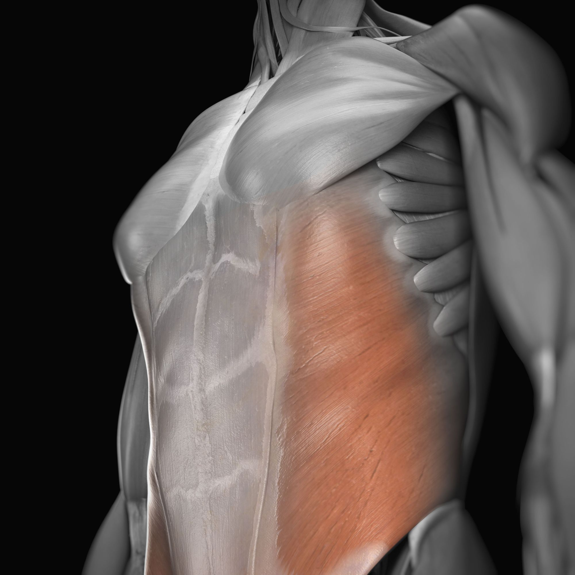 hight resolution of external oblique muscle