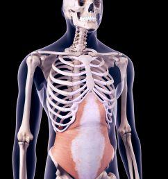 transversus abdominis muscle [ 3750 x 3750 Pixel ]