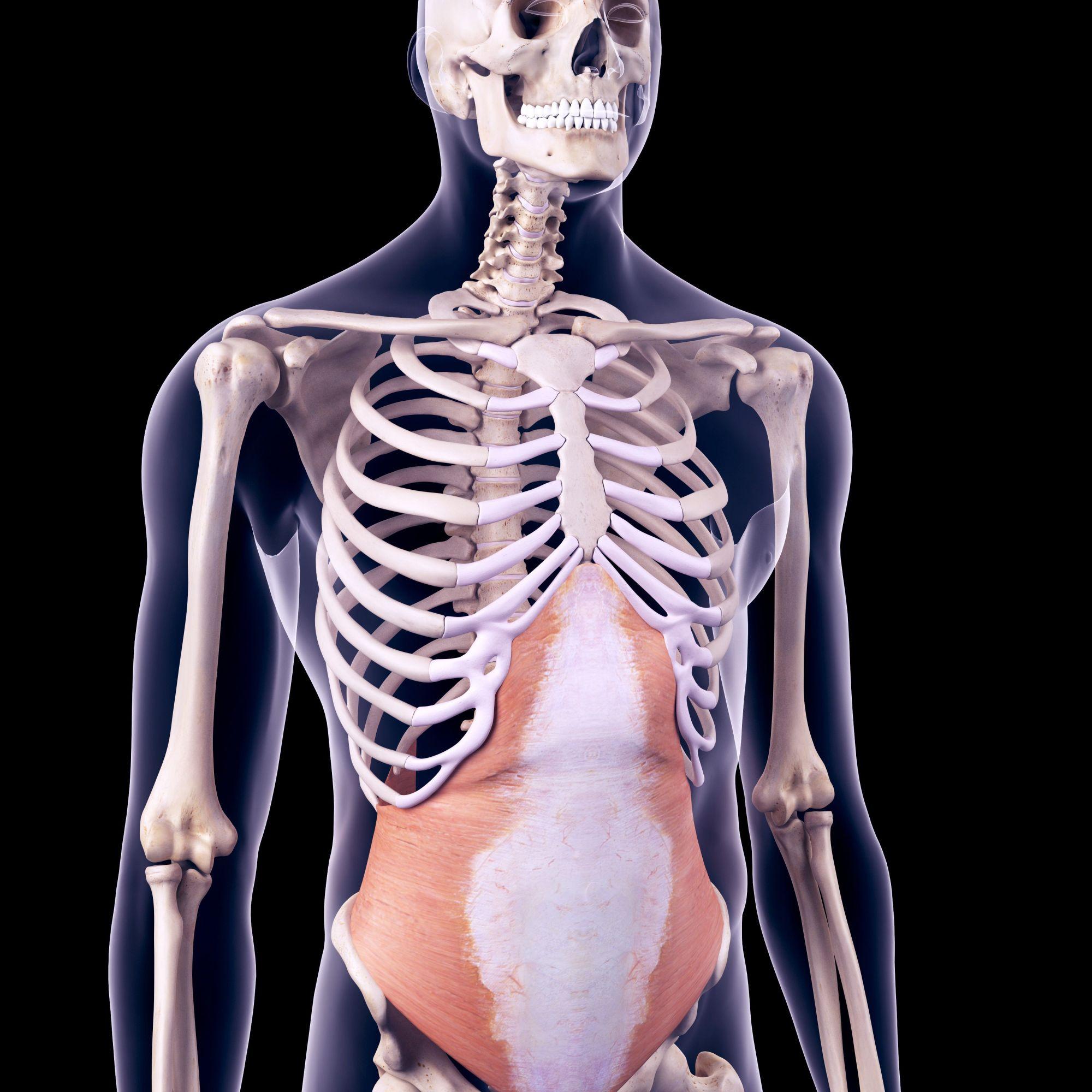 hight resolution of transversus abdominis muscle