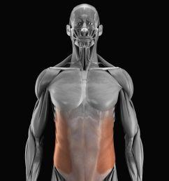 external and internal oblique muscles [ 4385 x 4385 Pixel ]