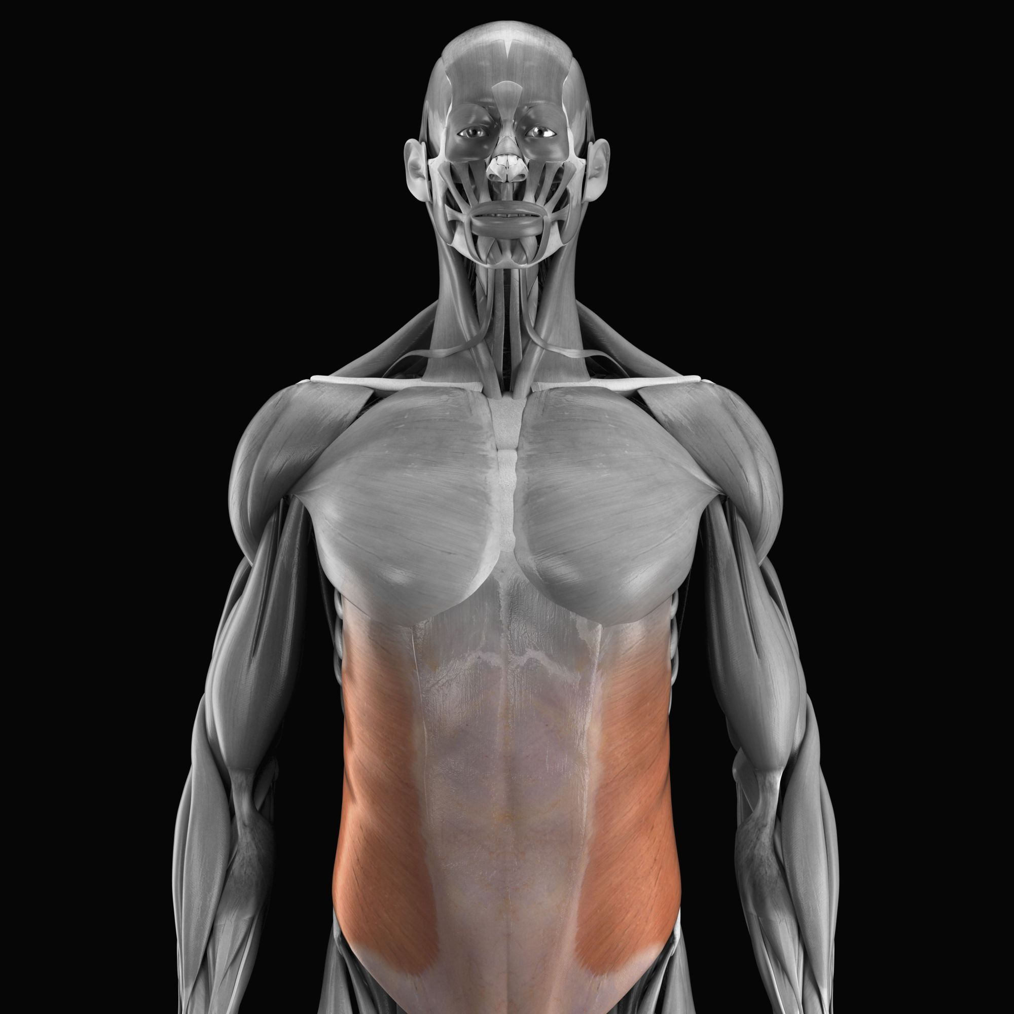 hight resolution of external and internal oblique muscles