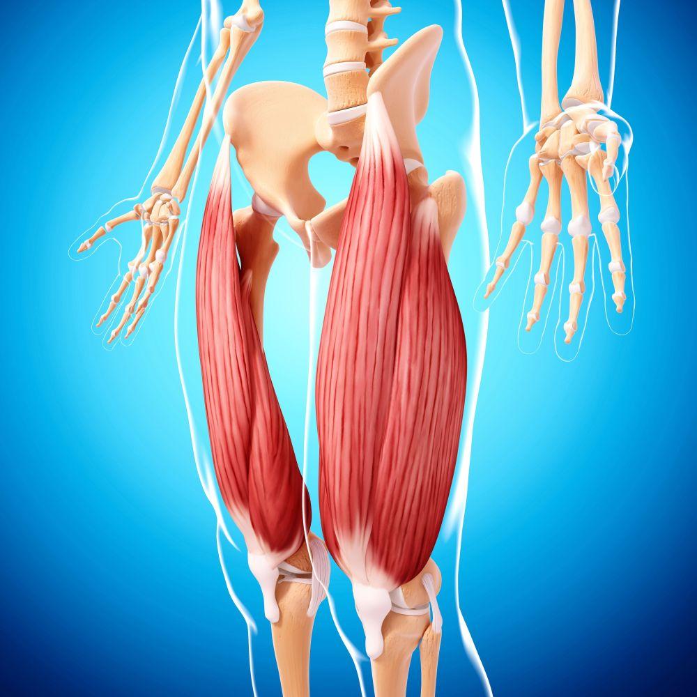 medium resolution of human leg musculature computer artwork