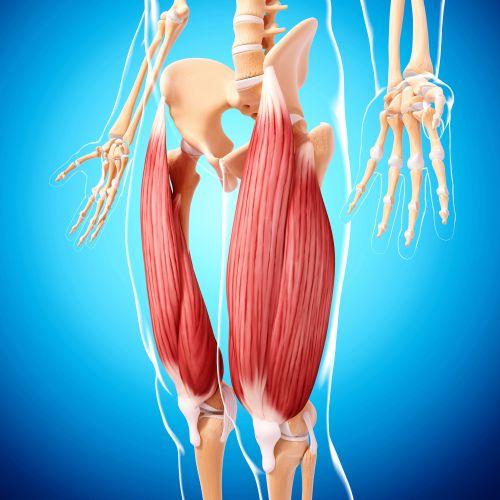 small resolution of human leg musculature computer artwork