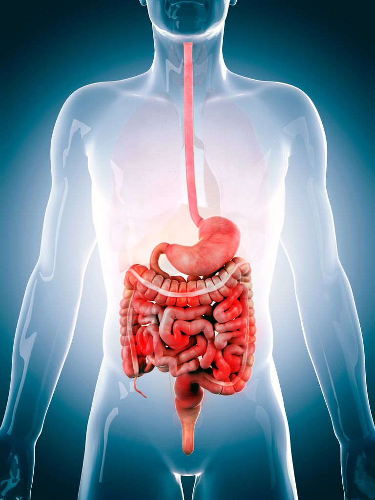 hight resolution of illustration of the digestive system from esophagus to intestines