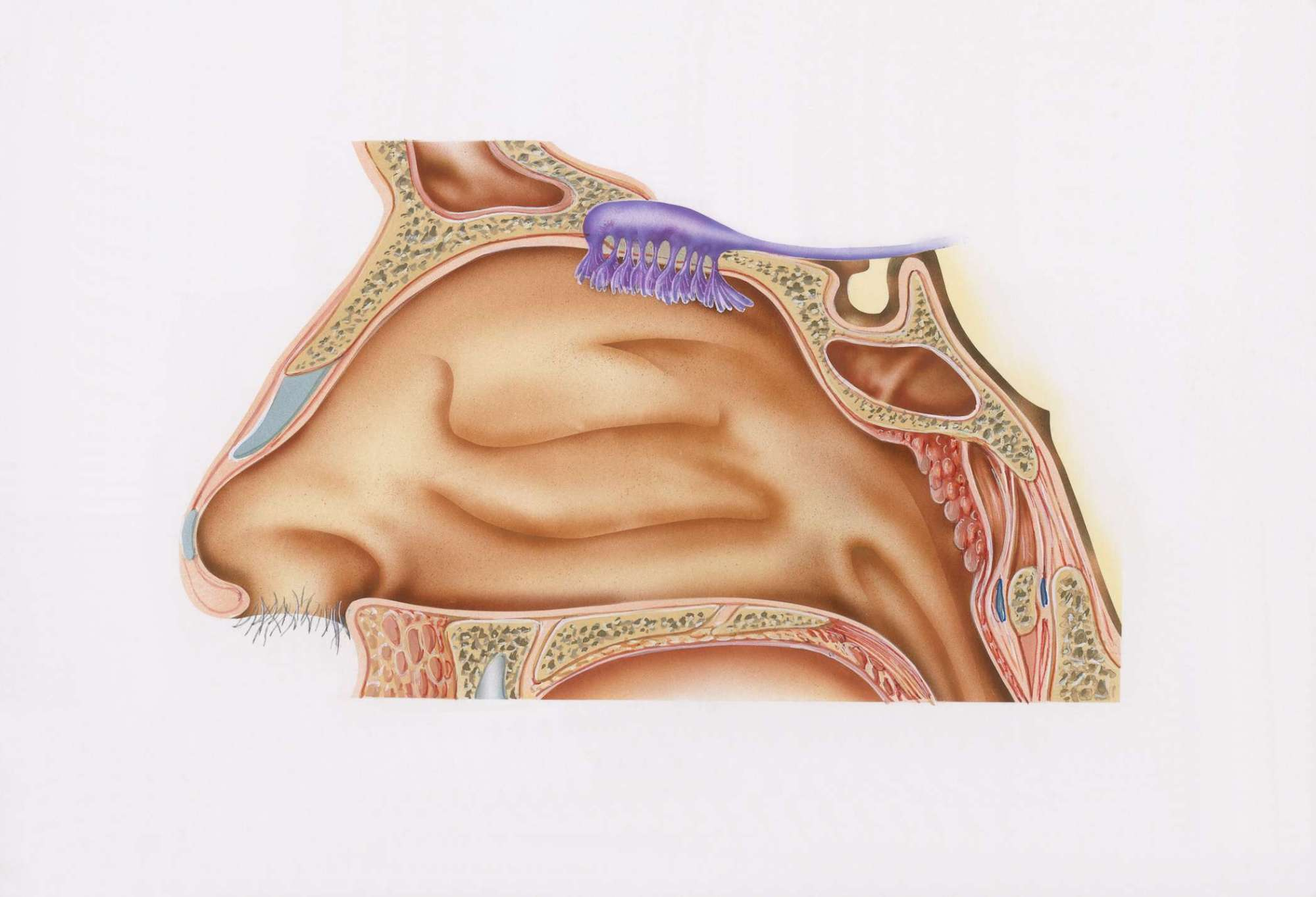 hight resolution of cross section illustration of nasal cavity nasal epithelium and smell receptors