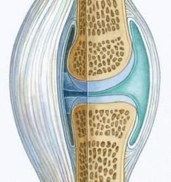 synovial tissue diagram [ 768 x 1384 Pixel ]