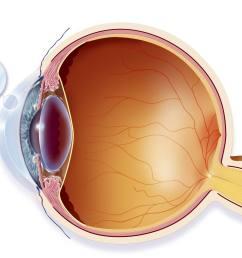 lateral eye anatomy [ 1963 x 1528 Pixel ]