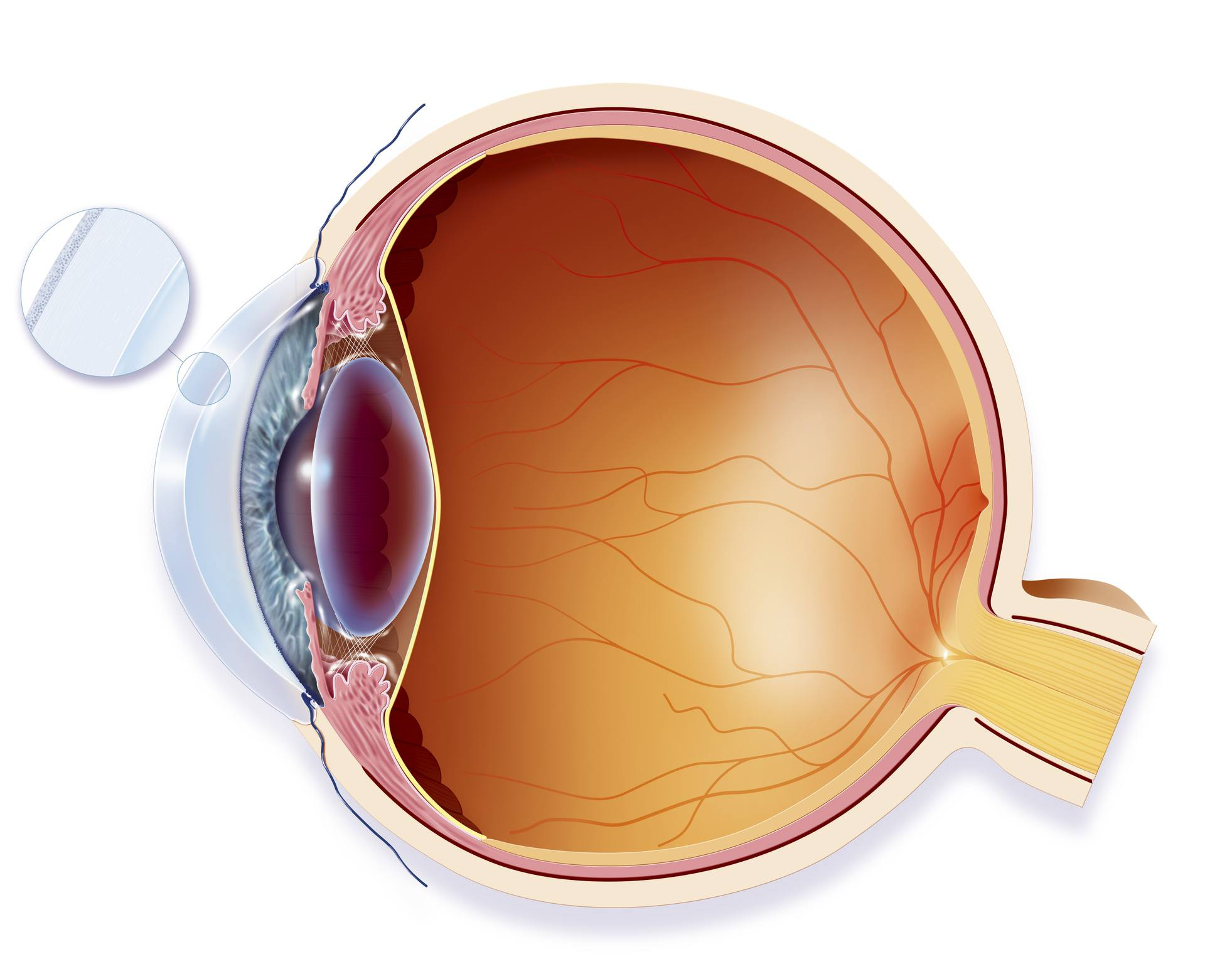 hight resolution of lateral eye anatomy