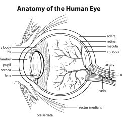Diagram Of How Vaccines Work 1000w Hps Ballast Wiring Macular Telangiectasia Types And Symptoms