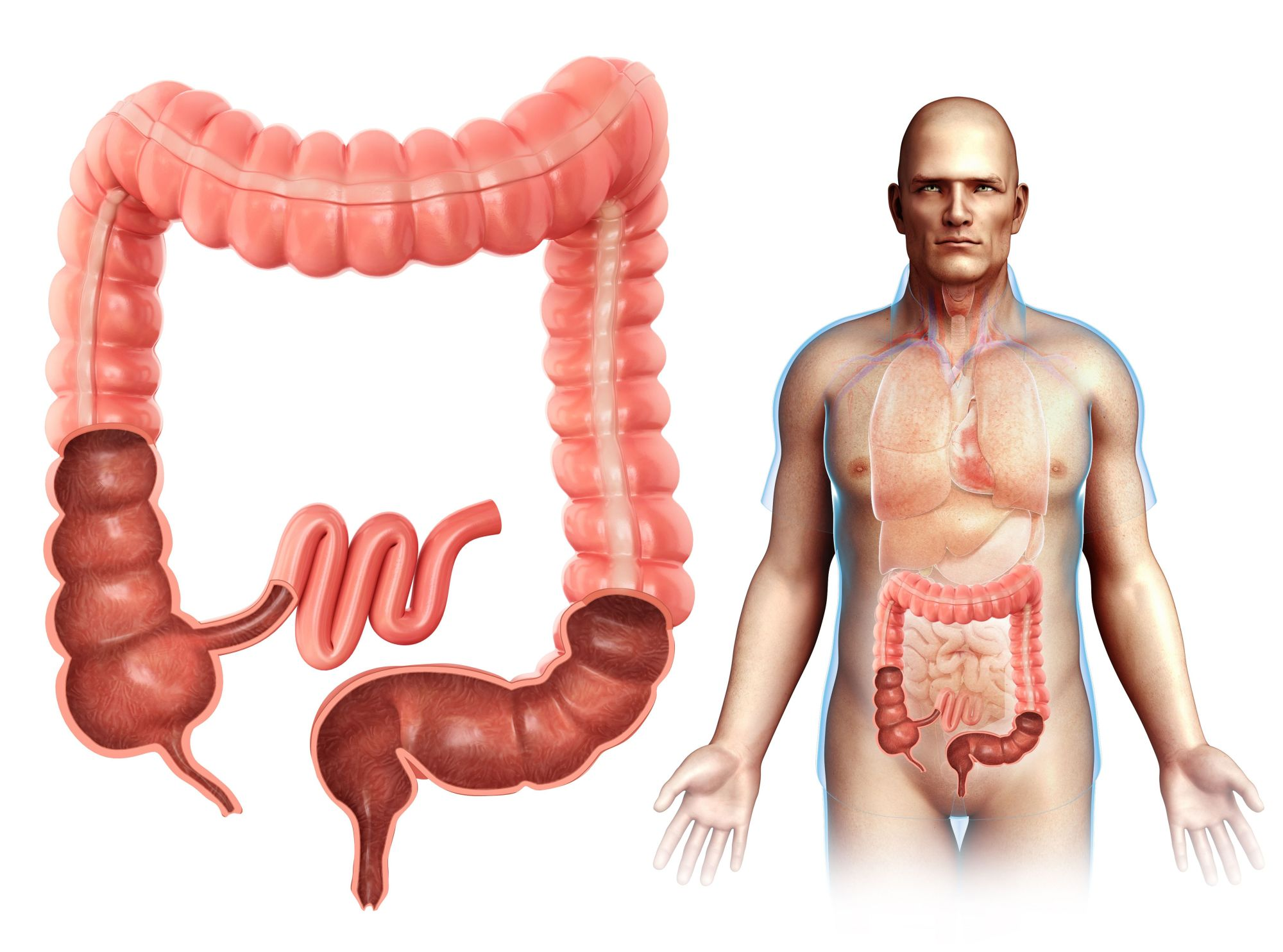 hight resolution of male large intestine anatomy illustration