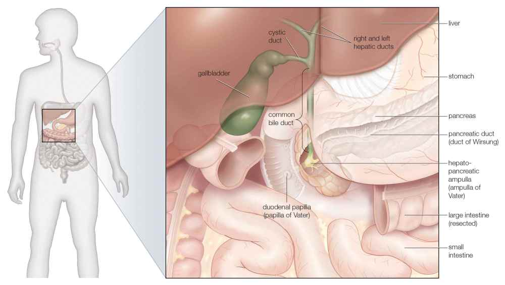 medium resolution of the gallbladder and bile ducts in situ