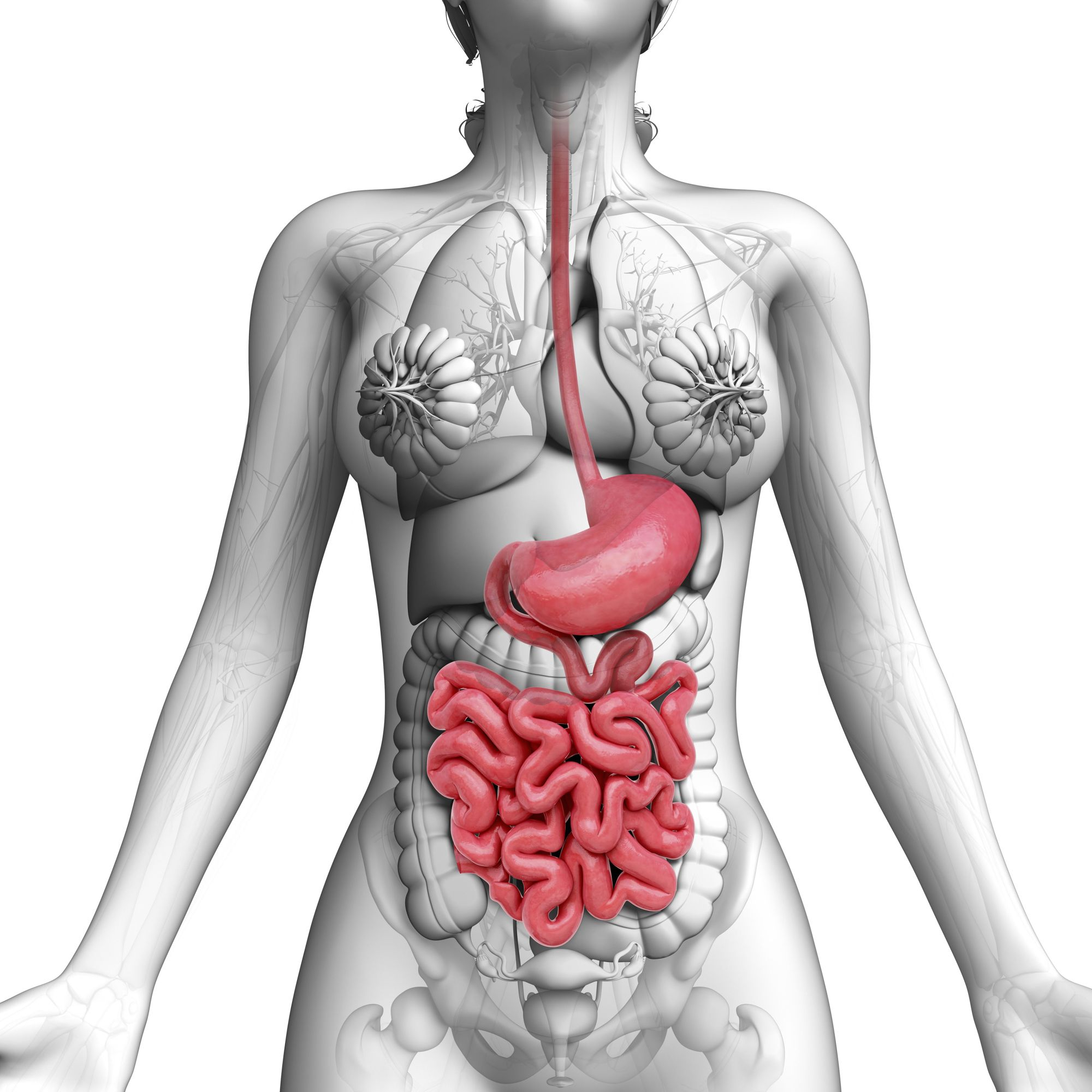 hight resolution of human digestive system artwork