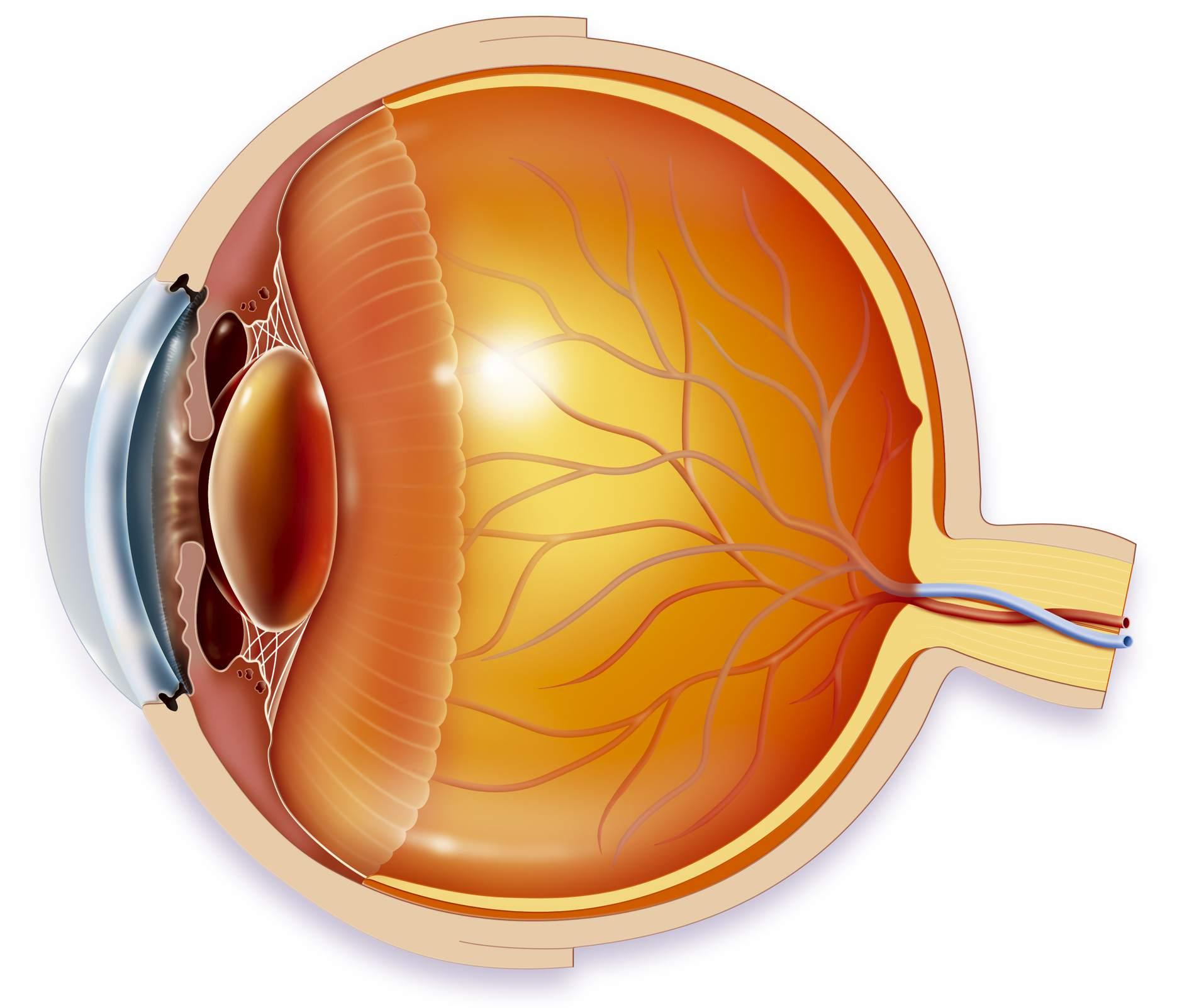 hight resolution of anatomy of an eye illustration