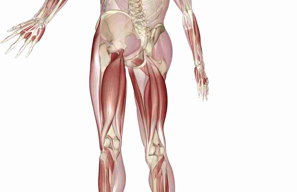 medium resolution of an image of the lower half of a skeleton plus hamstring and calf muscles