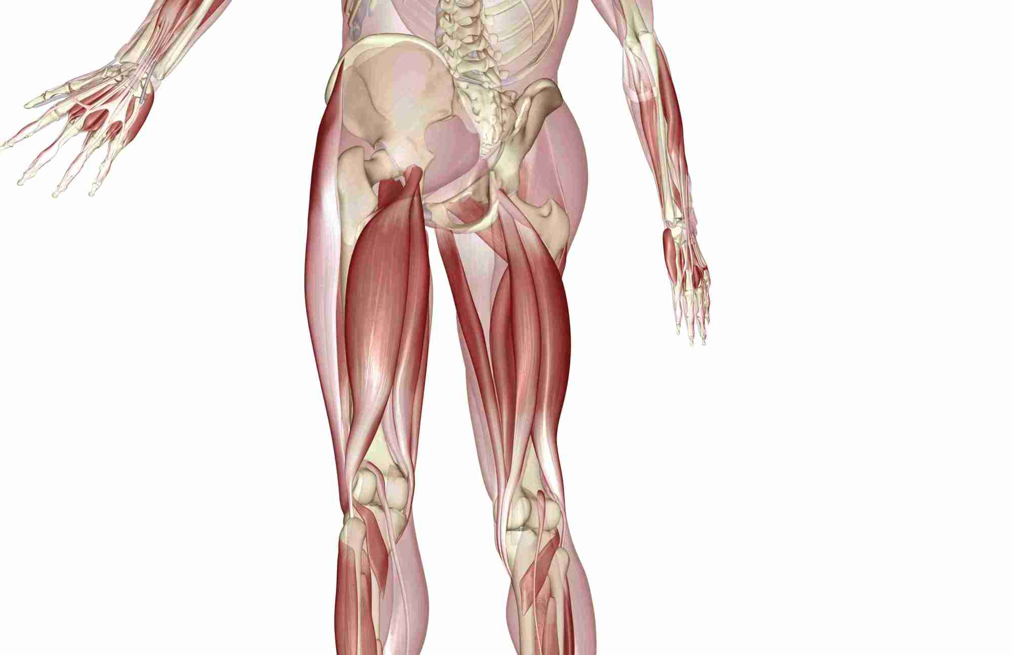 hight resolution of an image of the lower half of a skeleton plus hamstring and calf muscles