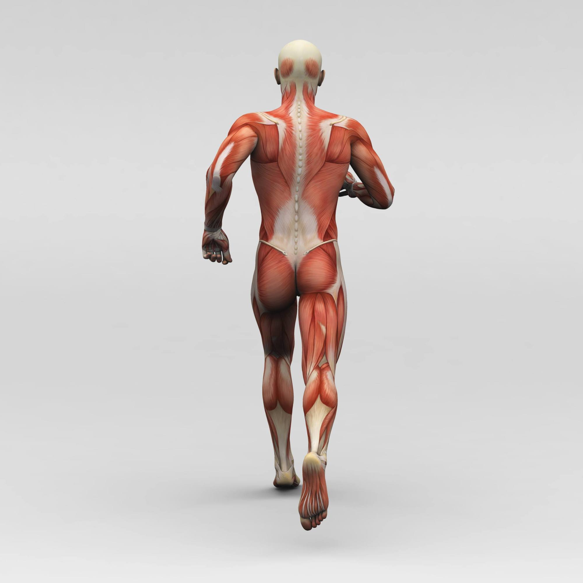hight resolution of a image of the back of a skeleton covered with muscles walking