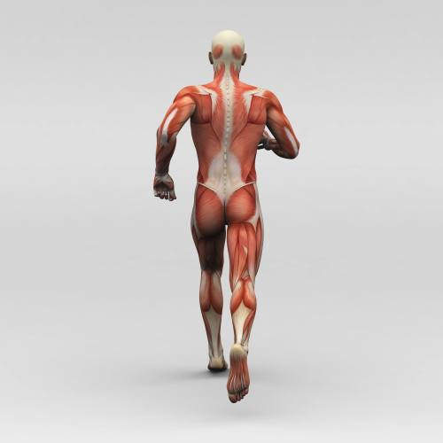 small resolution of a image of the back of a skeleton covered with muscles walking