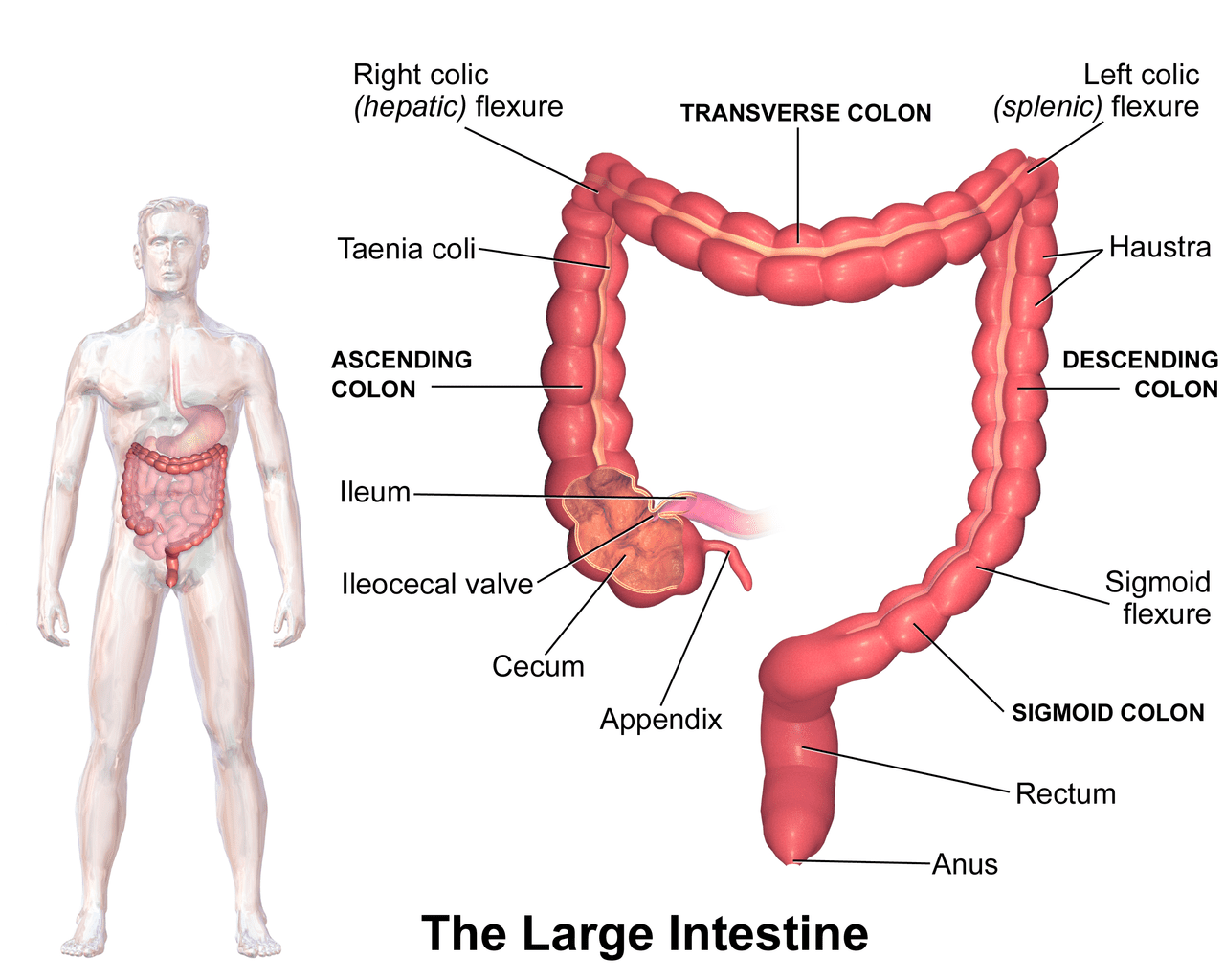 hight resolution of the large intestine see a related animation of this medical topic