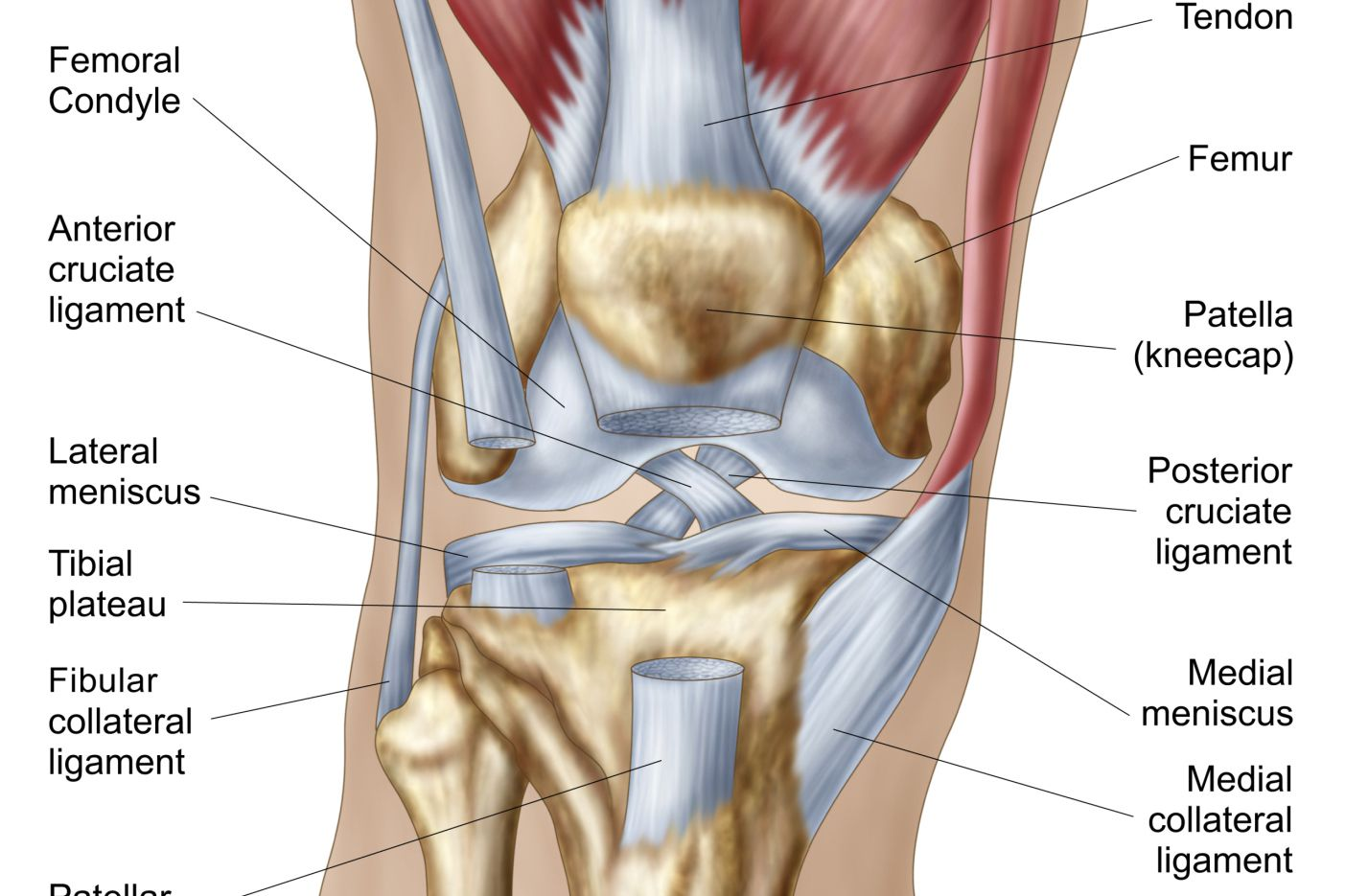 hight resolution of normal knee joint
