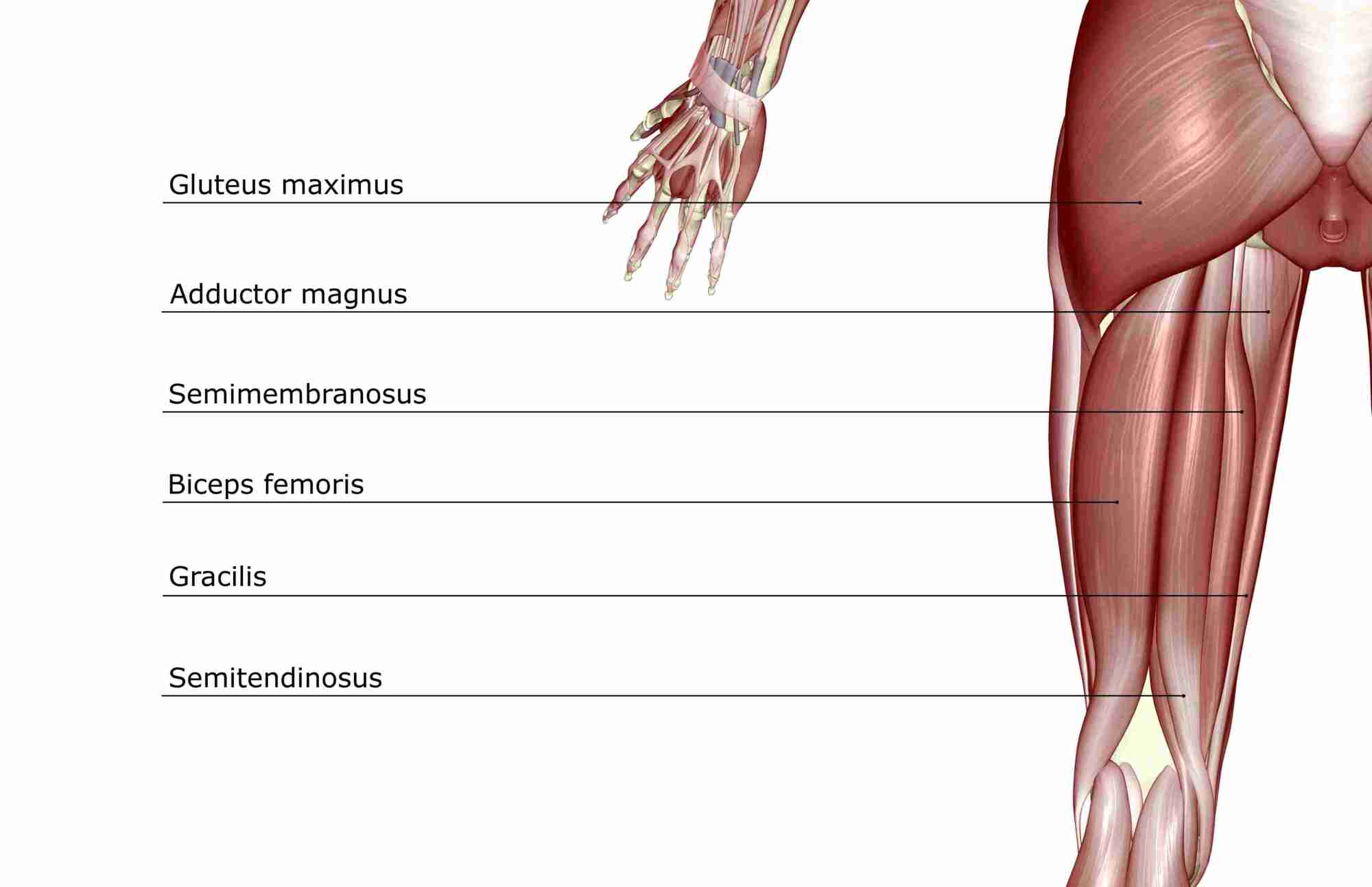 hight resolution of muscle diagram of lower extremity shows hamstrings