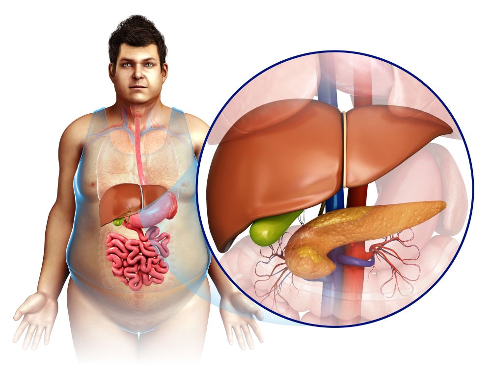 medium resolution of male liver and pancreas illustration